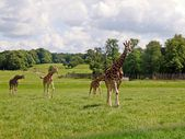 Giraffe in the UK zoo — Stok fotoğraf