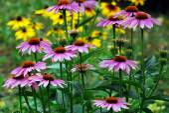 Echinacea purpurea - an herb stimulating the immune system — Stock Photo