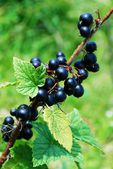 Branch with berries of black currant — Stock Photo