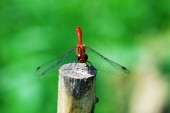 Dragonfly rest on the stake — Stock fotografie