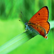 Butterfly sitting on grass stem — Stock Photo #55908787