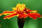 Orange Tagete flower (marigold) in the green — Fotografia Stock
