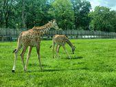 Giraffe in the UK zoo — Stock Photo