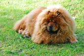 Red chow chow dog on a green grass  — Stock Photo