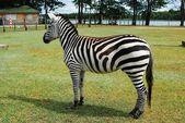 Zebra in the Grutas park near Druskininkai town — Стоковое фото