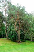 Three strains pine tree. Joke of nature. — Stock Photo