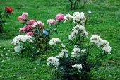 White roses in the garden in Rome city — Stockfoto