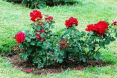 Red roses in the garden in Rome city — Stockfoto
