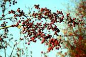 Hawthorn red berries on the branch on blue sky — Stock Photo
