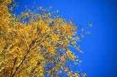 Autumn background with birch yellow leaves and blue sky — Stock Photo