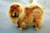 Brown chow chow dog living in the european city — Stock Photo