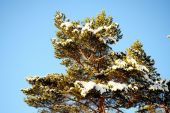Green branch of pine-tree with sunny snow — Stock Photo