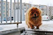 Chow Chow Dog Dina on white snow — Stock Photo