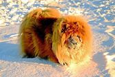 Chow Chow Dog, sun and white snow. — Stock Photo