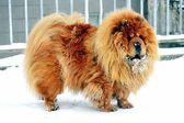 Chow Chow Dog Dina on white snow — Foto de Stock