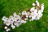 Beautiful pink cherry blossom in Vilnius city — Stock Photo