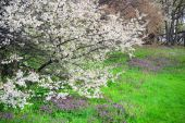 Spring with flowers and caucasian plum blossom — Stock Photo