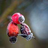 Rose hips with rime frost — Stock Photo