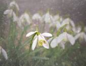 Snowdrops in early spring — Stock Photo