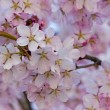 Pink cherry tree blossoms — Stockfoto #71042593