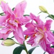 Pink lilies close up — Stock Photo #51866525