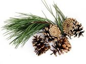 Twig of pine tree and cones — Stock Photo