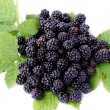 Fruits of wild shrub black berry from forest at autumn — Stock Photo #70886377