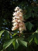 Chestnut tree with  flowers — Stock Photo
