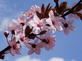 Pink flowers of crabapple ornamental tree — Stock Photo
