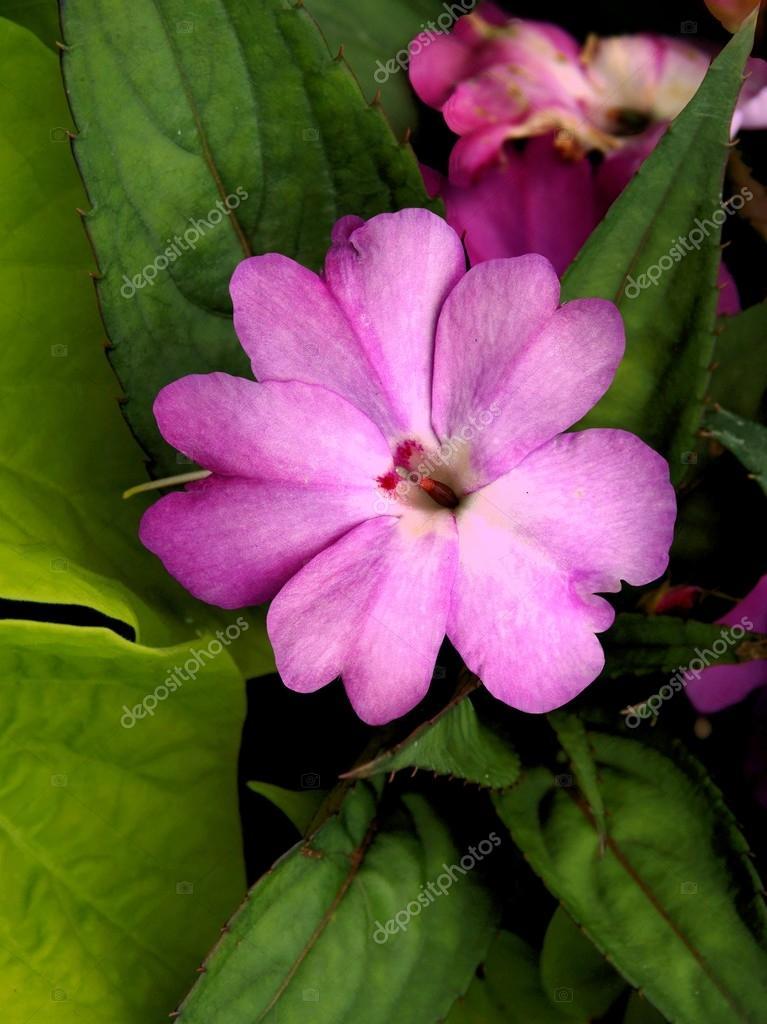 Fleur pourpre d 39 impatiens nouvelle guin e plante bouchent - Impatiens de nouvelle guinee ...