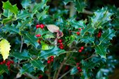 Green plant with red berries — Stock Photo