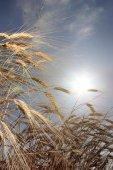 Trigo contra el sol — Foto de Stock