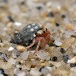 Hermit crab crawling — Stock Photo #51813717