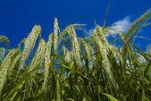 Green rice crop — Stock Photo