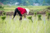Rice transplanted by farmer — Foto de Stock