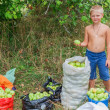 Boy during harvesting apples. In the garden. — Stock Photo #57077741