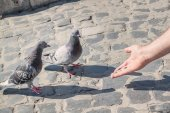 A man feeding pigeons with his hands. A symbol of peace. — Zdjęcie stockowe
