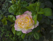 Beautifu rose in a garden — Stockfoto