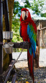 Parrot on a tree is attached by a chain — Stock Photo