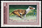 Stamp printed in Hungary shows Greyhound dog — Stock Photo