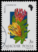 Stamp printed in Hungary, shows Flower Protea compacta — Foto de Stock