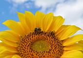 A bee gathering nectar on a sunflower  — Stock Photo