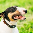 Close Pets Bull Terrier Dog Portrait At Green Grass — Stock Photo #52767021