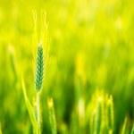 Green wheat in field — Stock Photo #52769187