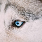 Close up on blue eye of a husky — Stock Photo