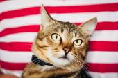 Close Up Portrait Tabby Male Kitten Cat — Stock Photo