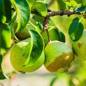 Fresh Green Pears On Pear Tree Branch, Bunch — Foto Stock