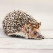 Hedgehog — ストック写真
