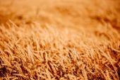 黄色の小麦の穂 — ストック写真
