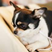 Chihuahua dog close up portrait — Stockfoto